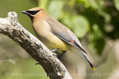 Cedar Waxwing at Palouse Falls State Park near Lacrosse, Washington.