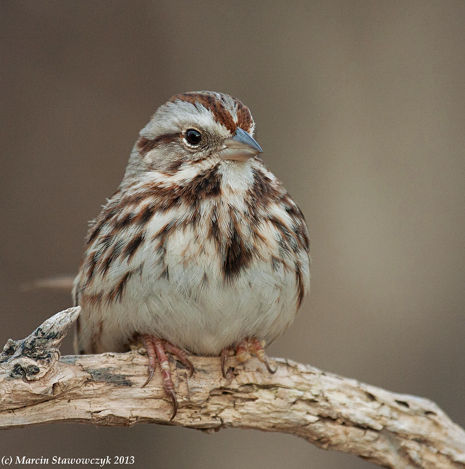 Fluffy sparrow