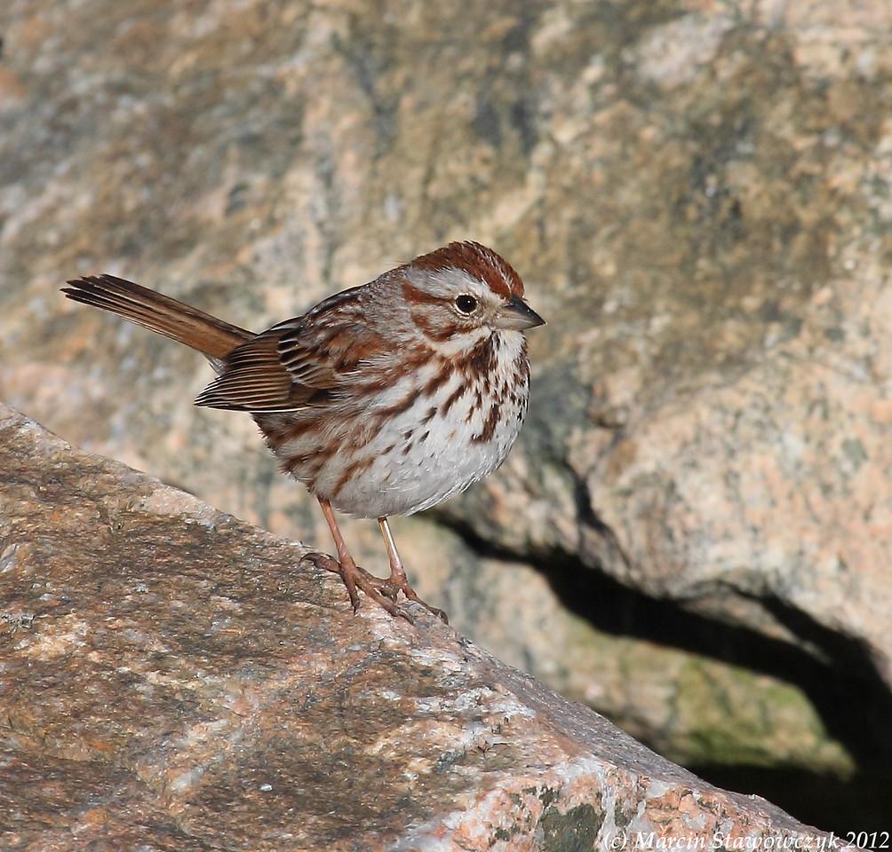 Sparrow on the rocks