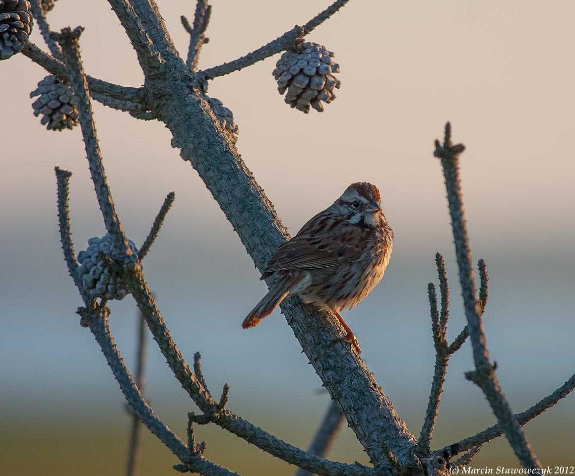 Sunrise sparrow