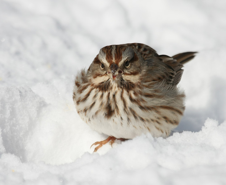 Sparrow in the snow