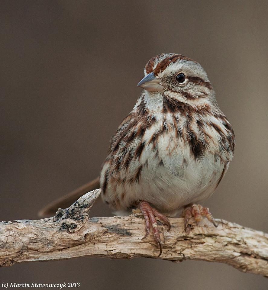Posing song sparrow