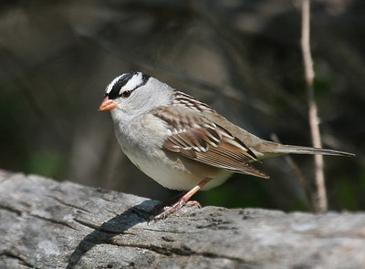 Other Sparrows