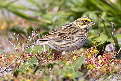 Savannah Sparrow at Point No Point County Park in Hansville, Washington.