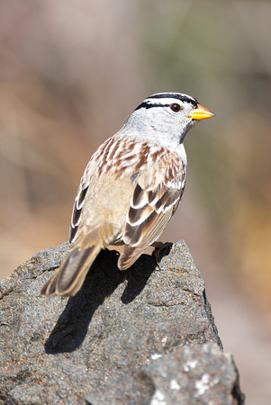 White-crowned Sparrow.  Photo taken at the Umtanum Recreation Area near Ellensburg, Washington.