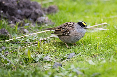 Golden-crowned Sparrow in breeding plumage.  Photo taken at Point No Point County Park in Hansville, Washington.