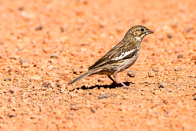 Female Lark Bunting near Belfield, North Dakota.
