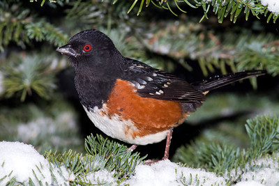 Male Spotted Towhee on a snowy noble fir tree branch.  Photo taken near Bremerton, Washington.