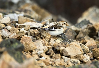 Snow Bunting in non-breeding plumage.  Photo taken at Steptoe Butte State Park near Steptoe, Washington.