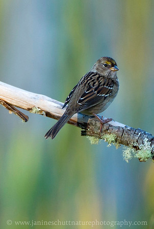 Juvenile Golden-crowned Sparrow at the Mt. St. Helens National Volcanic Monument in Washington. Photo taken along the Hummocks Trail.