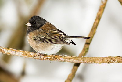 "Male Dark-eyed ""Oregon"" Junco near Bremerton, Washington."
