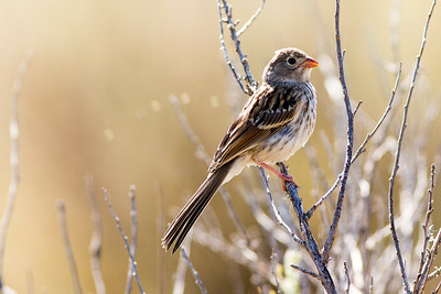 Field Sparrow at Makoshika State Park in Montana.