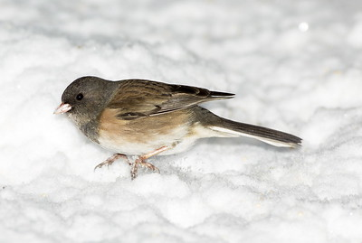 "Female Dark-eyed ""Oregon"" Junco in the snow near Bremerton, Washington."