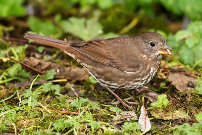 """Sooty"" Fox Sparrow in Neah Bay, Washington."
