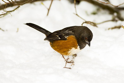 Female Spotted Towhee in the snow near Bremerton, Washington.