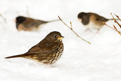 """Sooty"" Fox Sparrow in snow near dark-eyed juncos.  Photo taken near Bremerton, Washington."