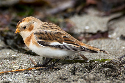 Snow Bunting in non-breeding plumage.  Photo taken at Point No Point County Park in Hansville, Washington.