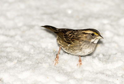 White-throated Sparrow in winter.  Photo taken near Bremerton, Washington.