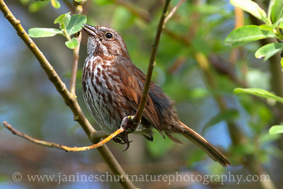 Song Sparrow at Old Mill Park in Silverdale, Washington.
