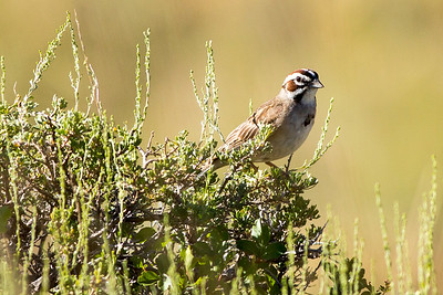 Lark Sparrow at Lewis and Clark Caverns State Park in Jefferson County, Montana.