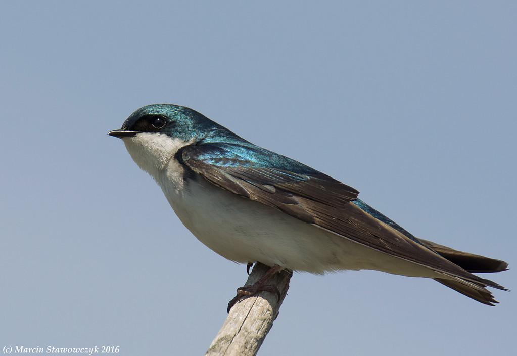 Shining swallow