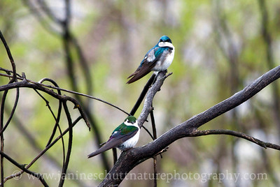 Tree Swallow and Violet-green Swallow sharing a tree branch in between foraging flights.  Photo taken by Jameson Lake in Douglas County, Washington.