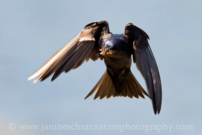 Male Purple Martin in Seabeck, Washington.