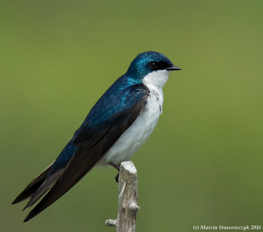 Swallow in greens