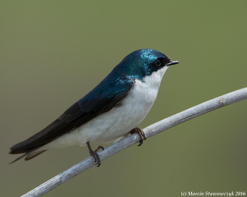 Diagonal swallow