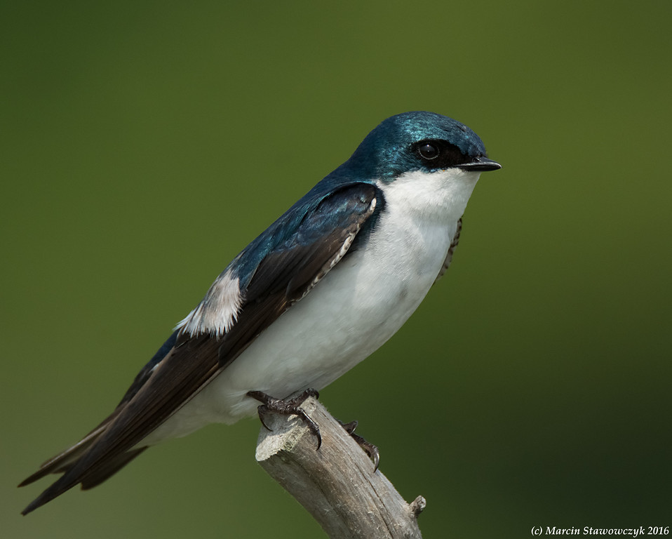 Dark green swallow