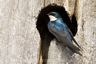 Male Tree Swallow near Cle Elum, Washington.