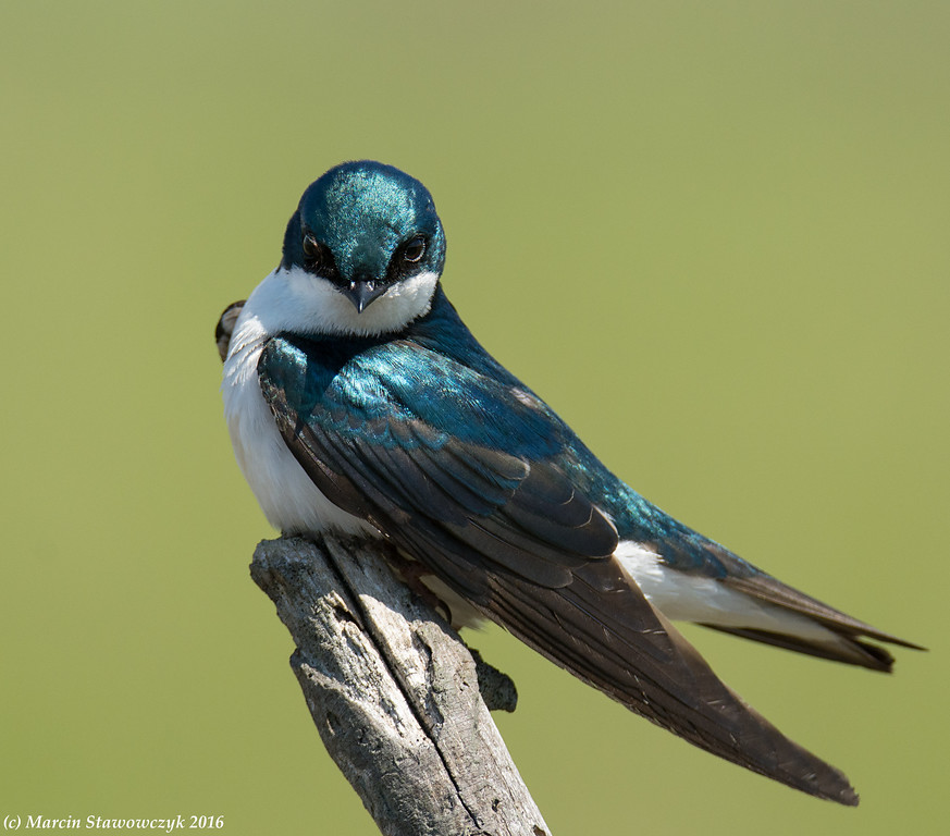 Posing tree swallow