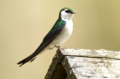 Male Violet-green Swallow near Leavenworth, Washington.