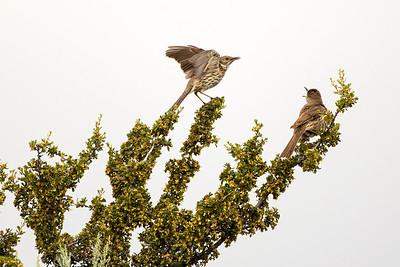 Sage Thrashers on Umptanum Road near Ellensburg, Washington.