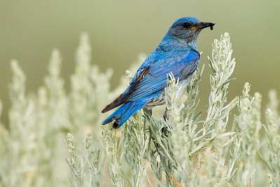 Male Mountain Bluebird on Umptanum Road near Ellensburg, Washington.