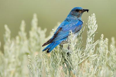 Male Mountain Bluebird on Umptanum Road near Ellensburg, Washington.