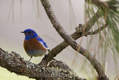 Male Western Bluebird near Lyle, Washington.  Photo taken along Balch Rd.
