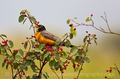 American Robin.  Photo taken along Baird Springs Road near Ephrata, Washington.