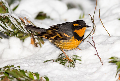 Male varied thrush on a snowy day.  Photo taken near Bremerton, Washington.