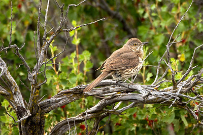Juvenile Sage Thrasher on Umptanum Road near Ellensburg, Washington.