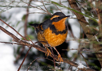 Male Varied Thrush on a snowy winter day.  Photo taken near Bremerton, Washington.