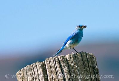 Male Mountain Bluebird.  Photo taken along Wenas Road near Ellensburg, Washington.