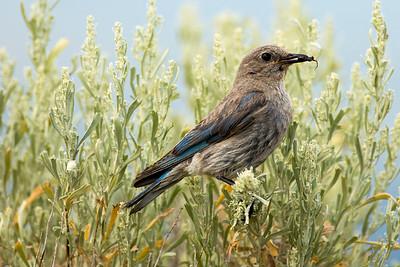 Female Mountain Bluebird on Umptanum Road near Ellensburg, Washington.