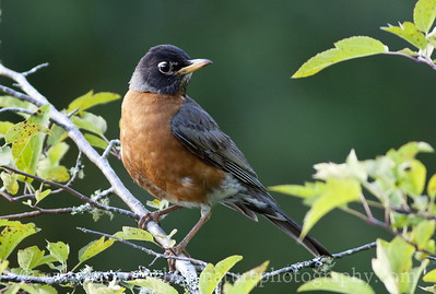 American Robin by the McLane Creek Nature Trail, near Olympia, Washington.