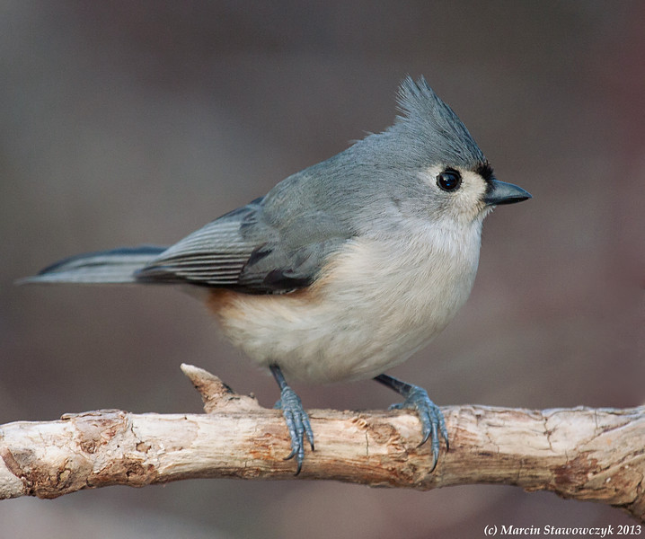 Winter titmouse