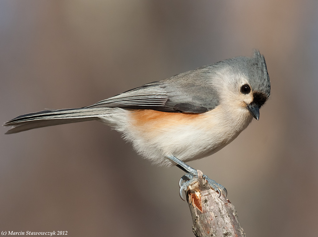 Titmouse on a twig