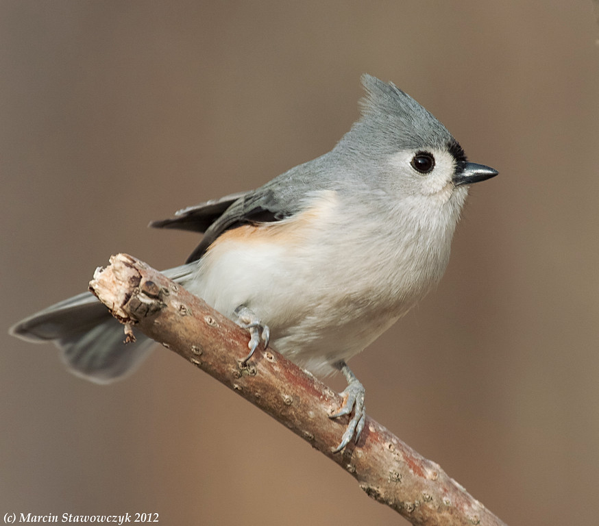 Titmouse from the side