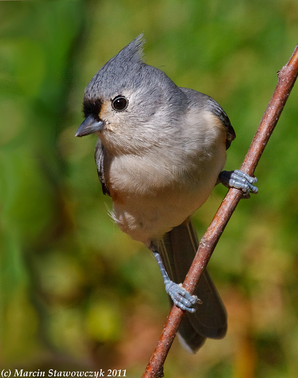 Titmouse in greens