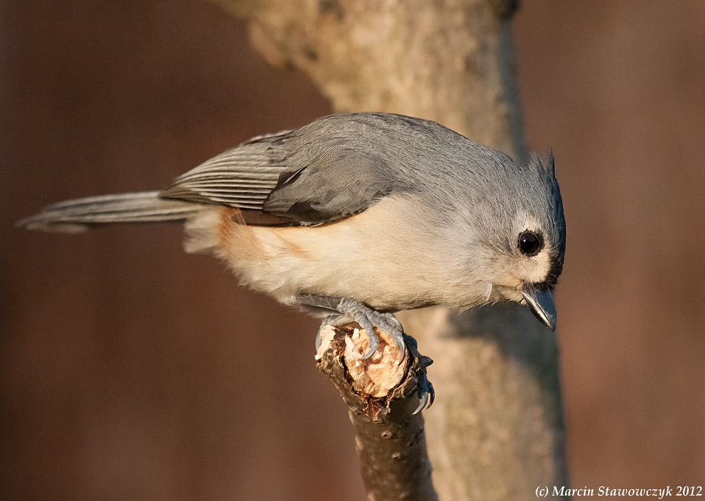Titmouse in a warm light