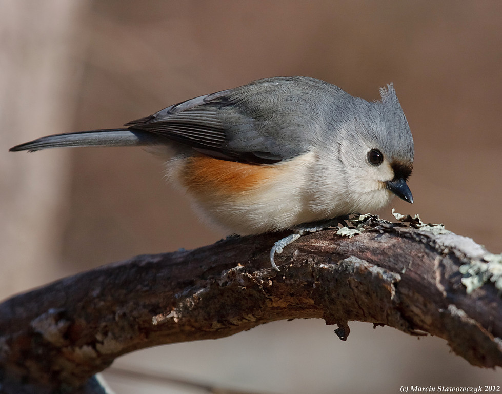 Tufted titmouse looking down from the branch